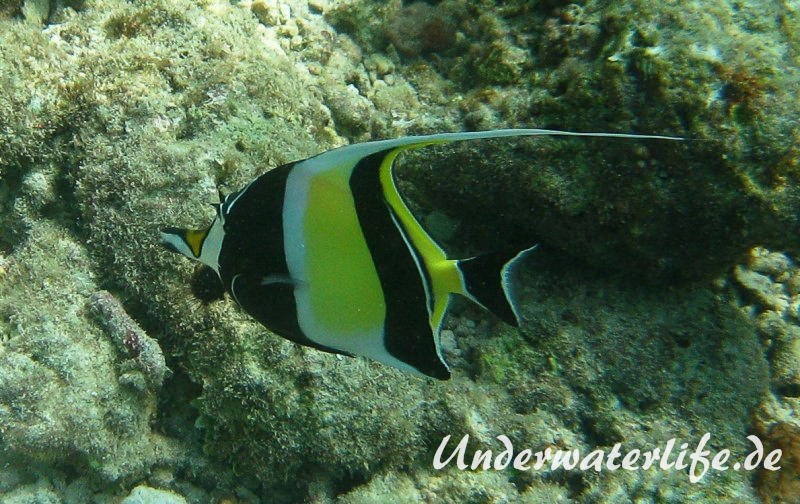 Halfterfisch_adult-Malediven-2013-06