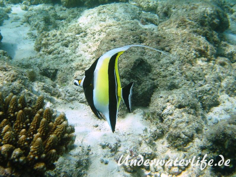 Halfterfisch_adult-Malediven-2013-07