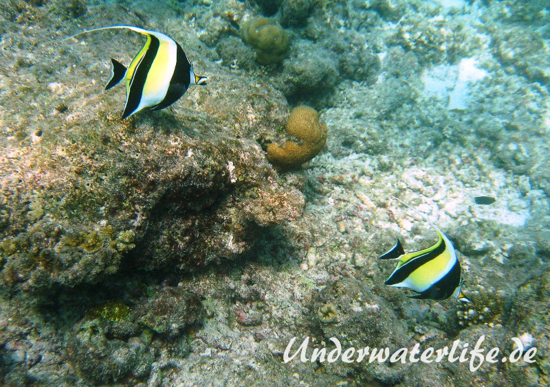 Halfterfisch_adult-Malediven-2013-08