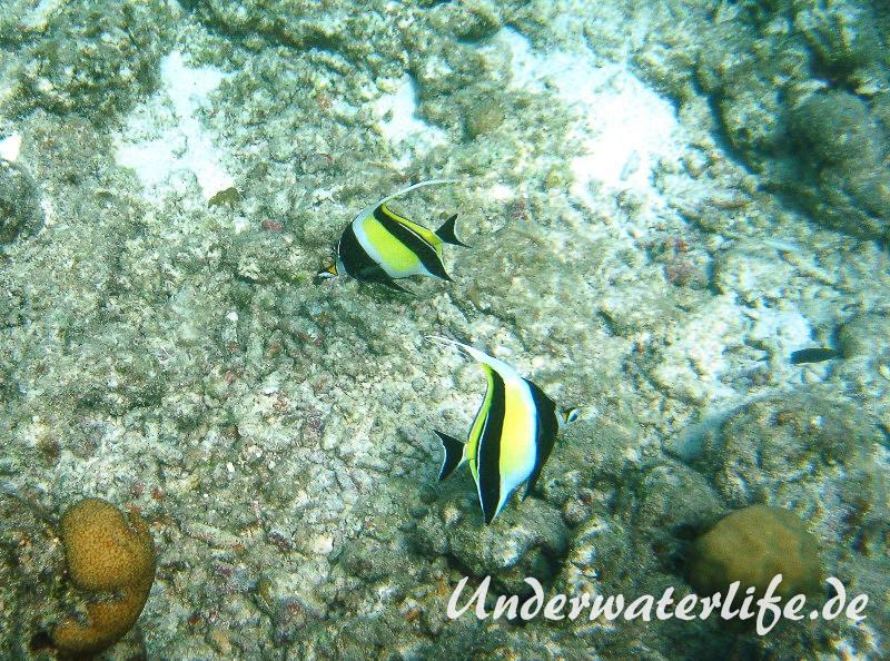 Halfterfisch_adult-Malediven-2013-09