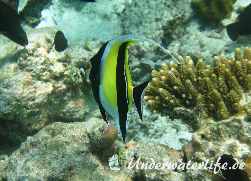 Halfterfisch_adult-Malediven-2013-15