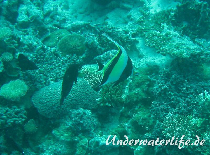 Halfterfisch_adult-Malediven-2013-16