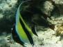 Halfterfisch (Zanclus cornutus) Indik
