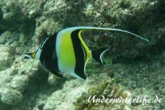 Halfterfisch_adult-Malediven-2013-02