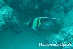 Halfterfisch_adult-Malediven-2013-10
