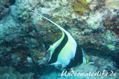 Halfterfisch_adult-Malediven-2013-11