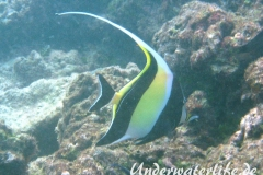 Halfterfisch_adult-Malediven-2013-12