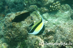 Halfterfisch_adult-Malediven-2013-13