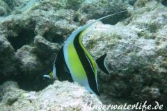 Halfterfisch_adult-Malediven-2013-14