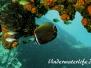 Indopazifik Falterfische-Chaetodontidae-Butterflyfishes