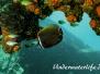 Halsband-Falterfisch (Chaetodon collare) Indopazifik