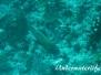 Harlekin-Süßlippe (Plectorhinchus chaetodonoides)