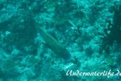 Harlekin-Suesslippe_adult-Malediven-2013-01