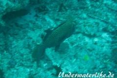 Harlekin-Suesslippe_adult-Malediven-2013-03