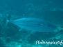 Hundezahn Thunfisch (Gymnosarda unicolor)