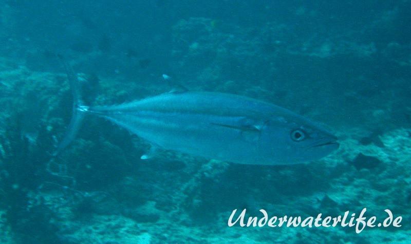 Hundezahn-Thunfisch_adult-Malediven-2013-01