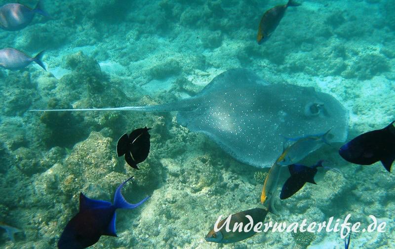 Igelrochen_adult-Malediven-2013-02