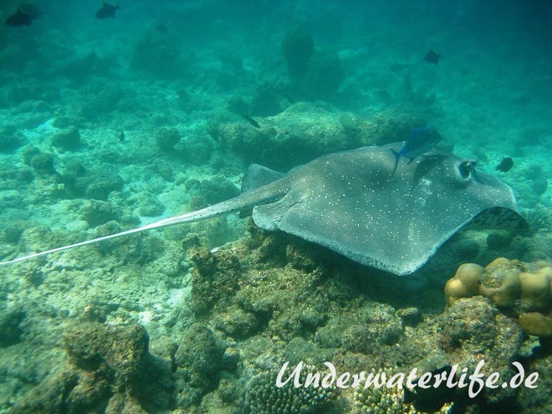 Igelrochen_adult-Malediven-2013-03
