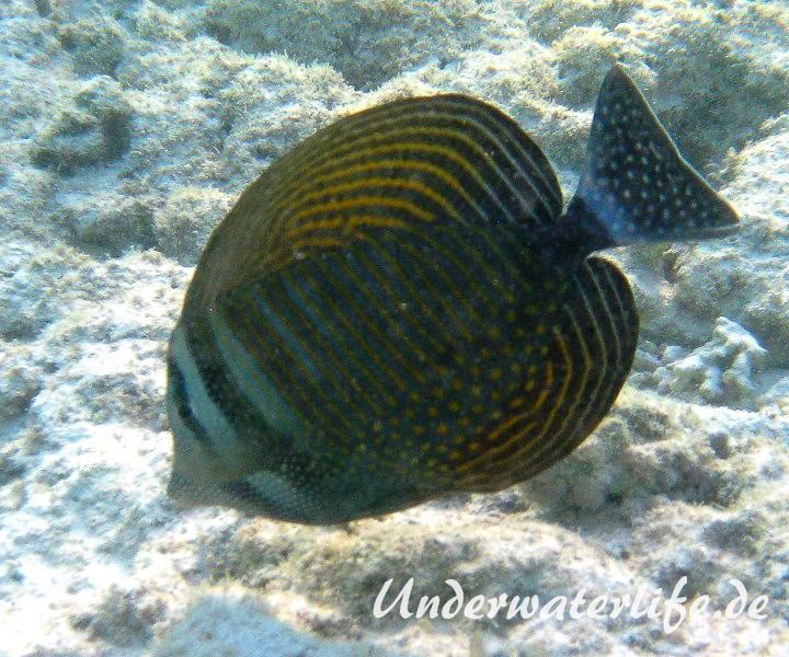 Indik Segelflossendoktorfisch_adult-Marsa alam-2012-1
