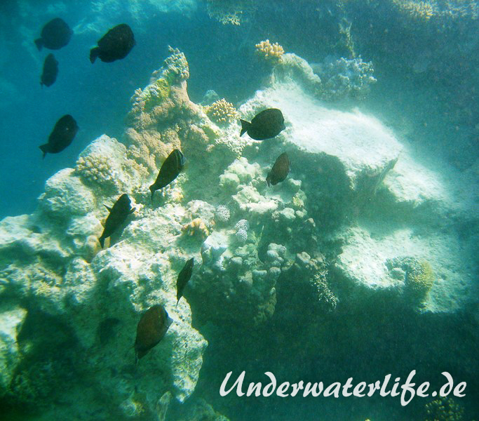Indik Segelflossendoktorfisch_adult-Marsa alam-2012-3