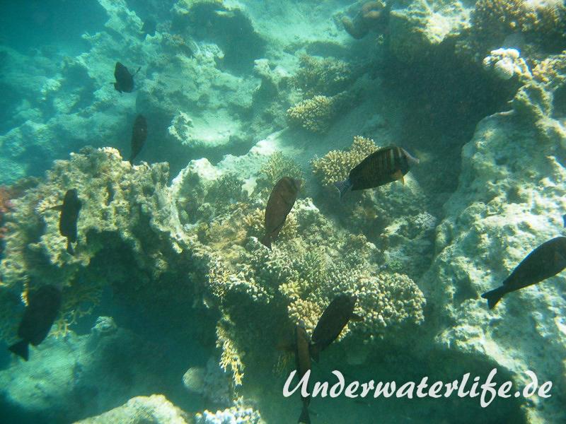 Indik Segelflossendoktorfisch_adult-Marsa alam-2012-4