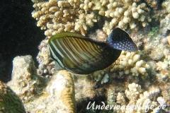 Indik Segelflossendoktorfisch_adult-Marsa alam-2012-2
