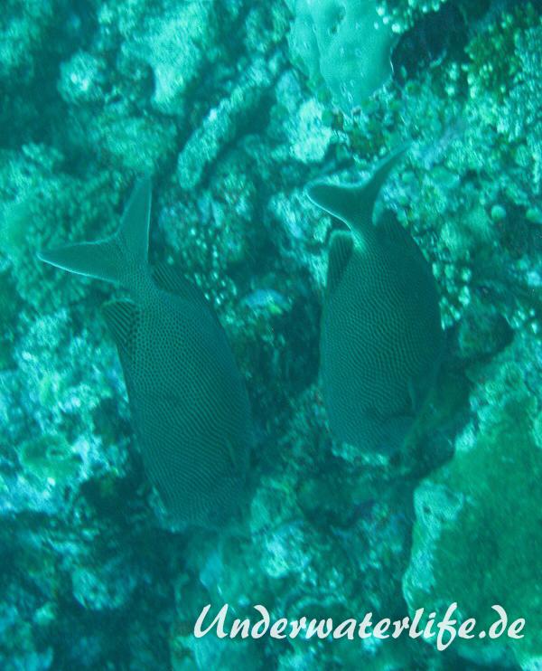 Indik-Tuepfel-Kaninchenfisch_adult-Malediven-2013-01