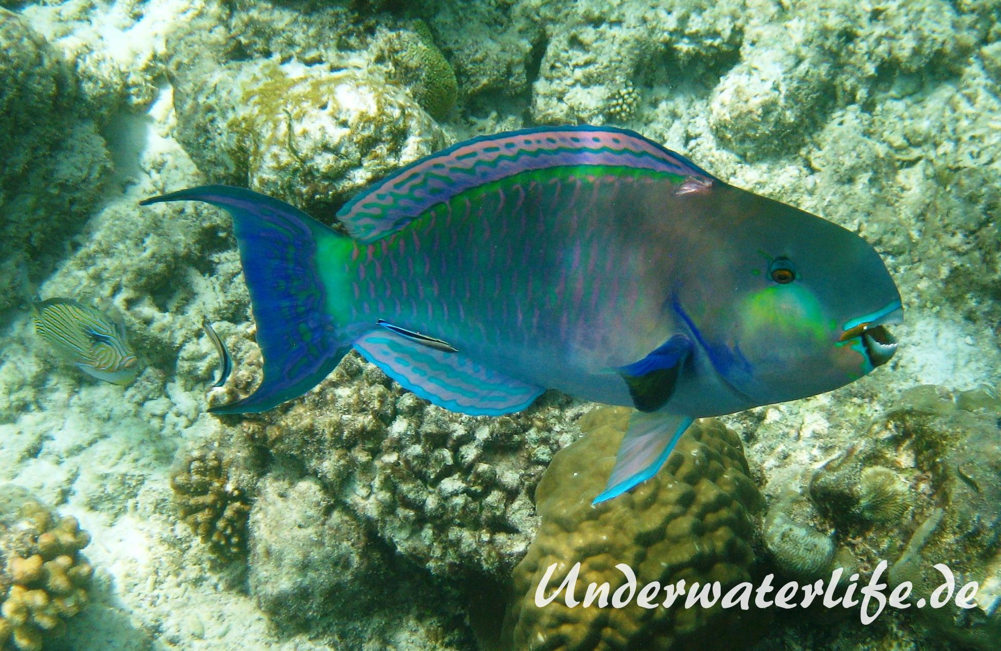 Indischer-Buckelkopfpapageifisch_adult-Maennchen-Malediven-2013-011