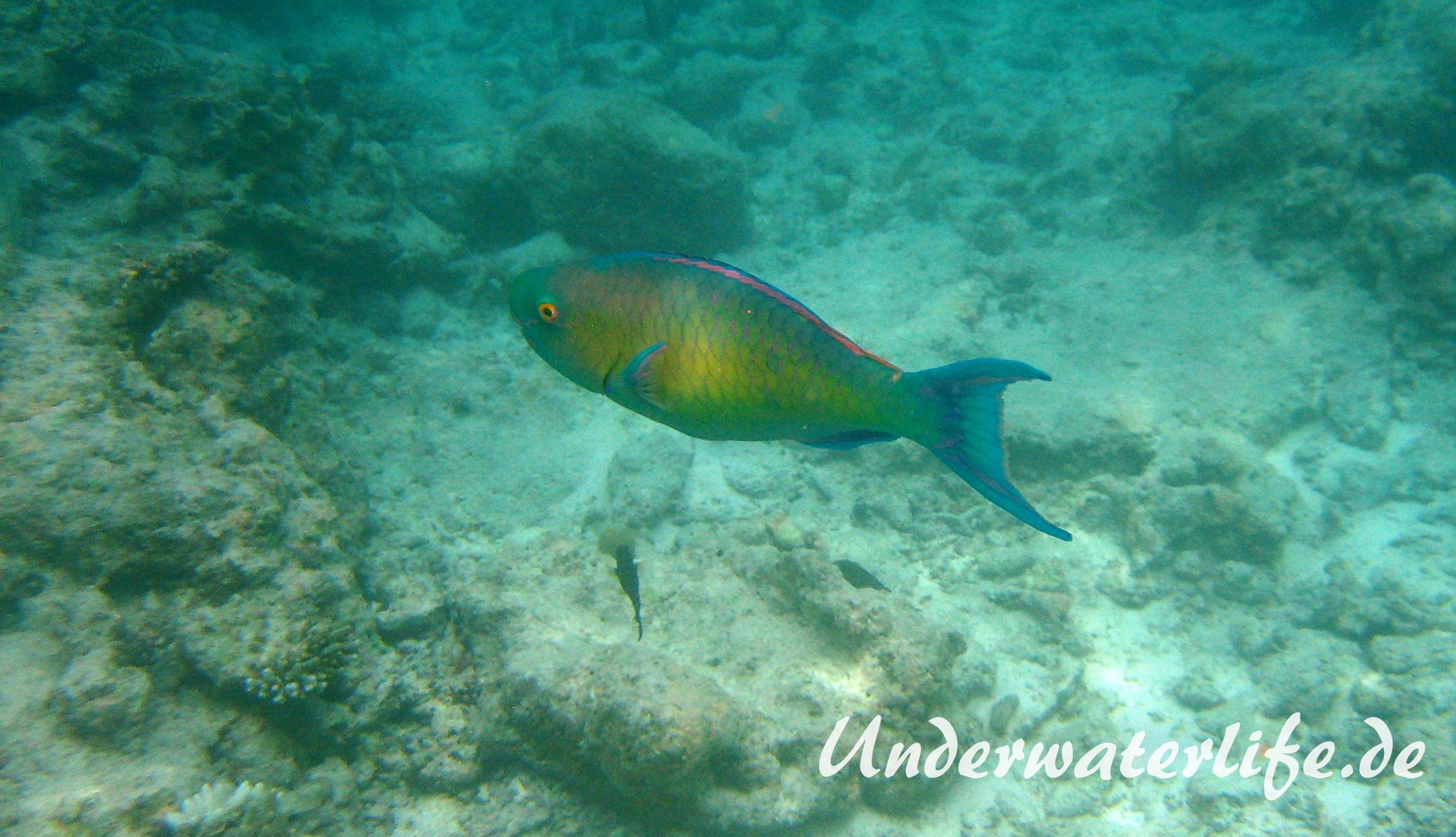Indischer-Buckelkopfpapageifisch_adult-Maennchen-Malediven-2013-014