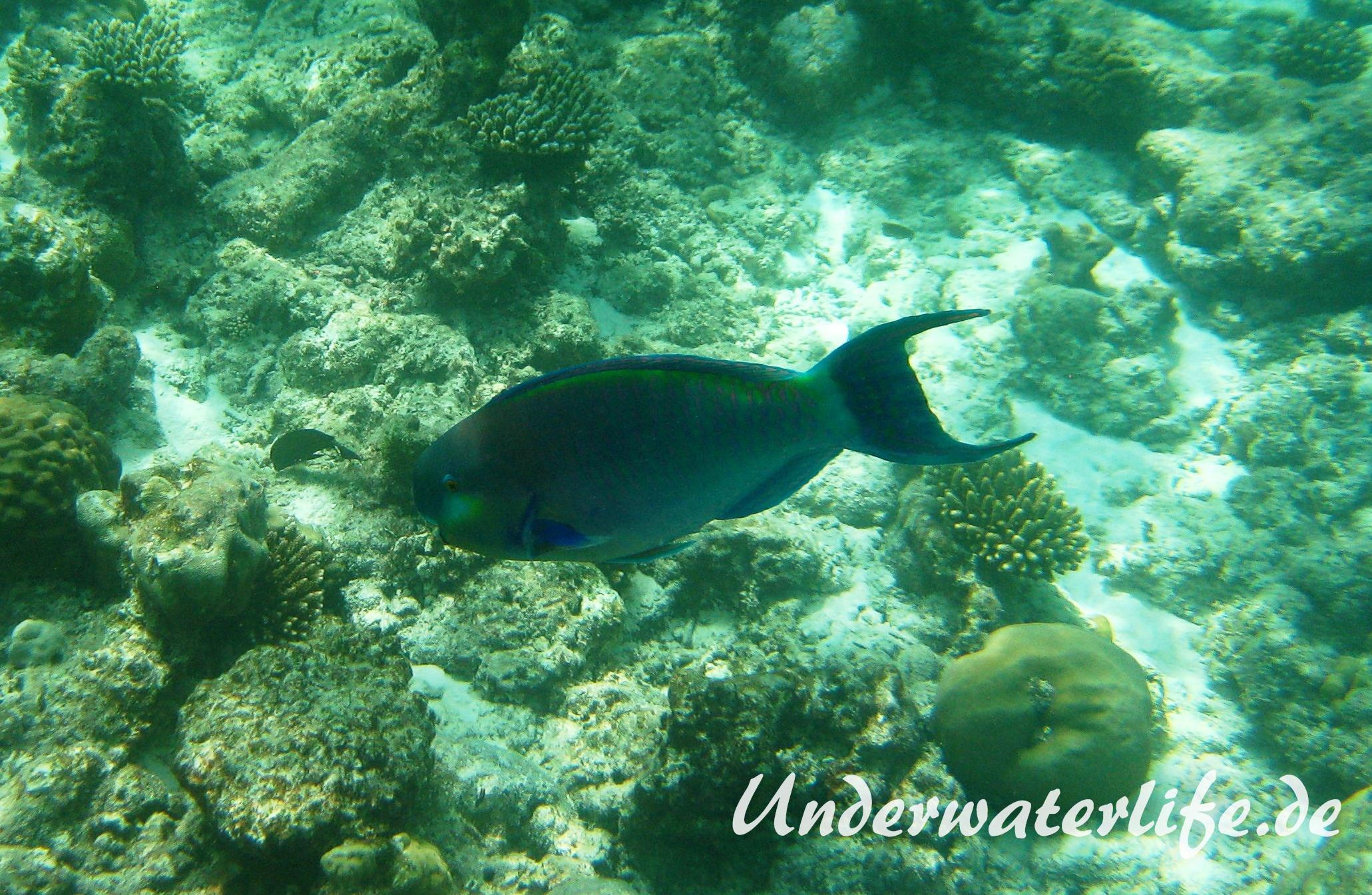 Indischer-Buckelkopfpapageifisch_adult-Maennchen-Malediven-2013-015