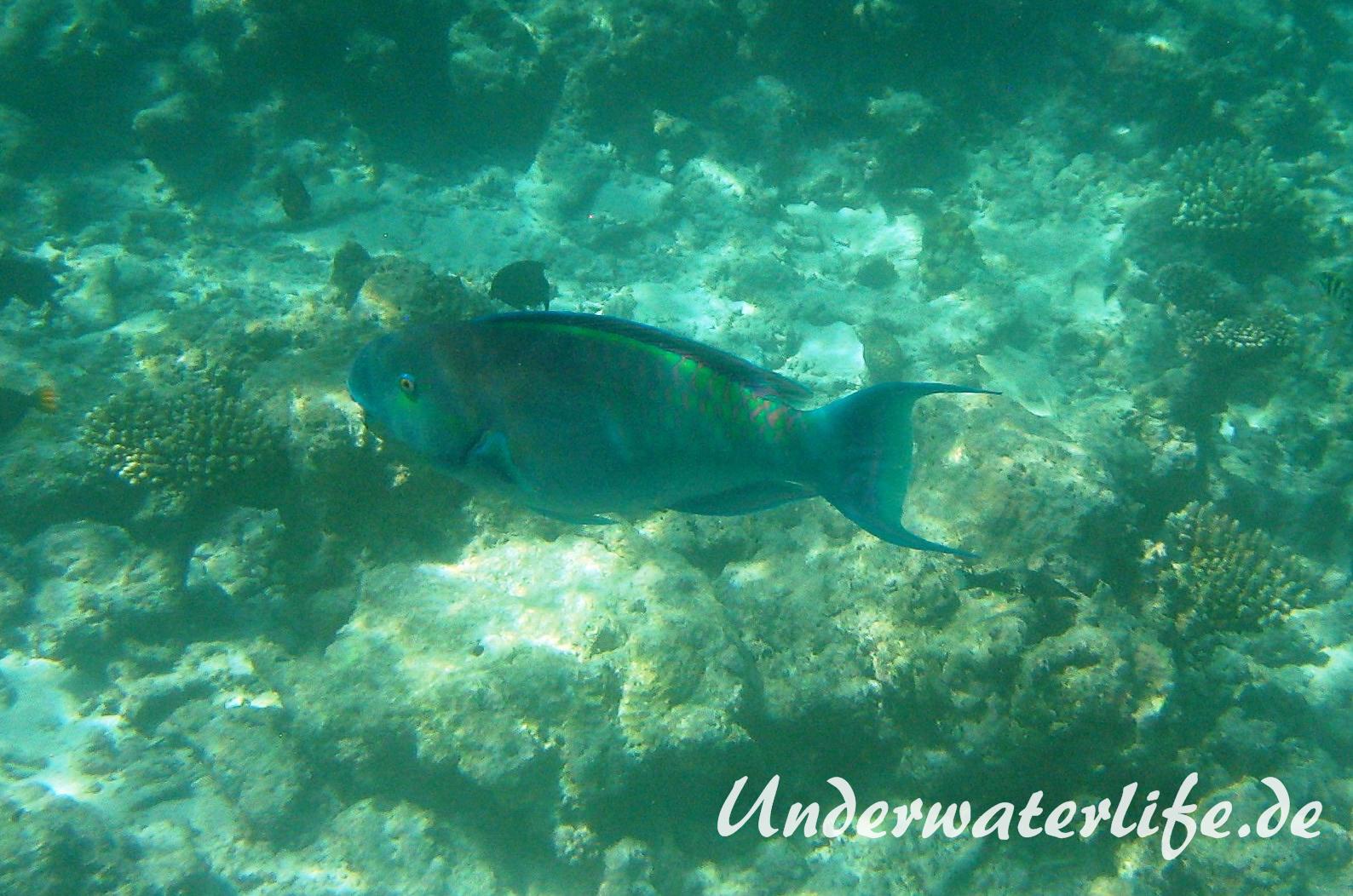 Indischer-Buckelkopfpapageifisch_adult-Maennchen-Malediven-2013-018