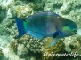 Indik Papageifische-Scaridae-Parrotfishes