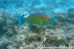 Indischer-Buckelkopfpapageifisch_adult-Maennchen-Malediven-2013-012