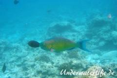 Indischer-Buckelkopfpapageifisch_adult-Maennchen-Malediven-2013-013