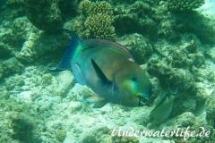 Indischer-Buckelkopfpapageifisch_adult-Maennchen-Malediven-2013-017