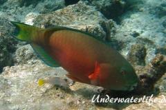 Indischer-Buckelkopfpapageifisch_adult-Weibchen-Malediven-2013-01