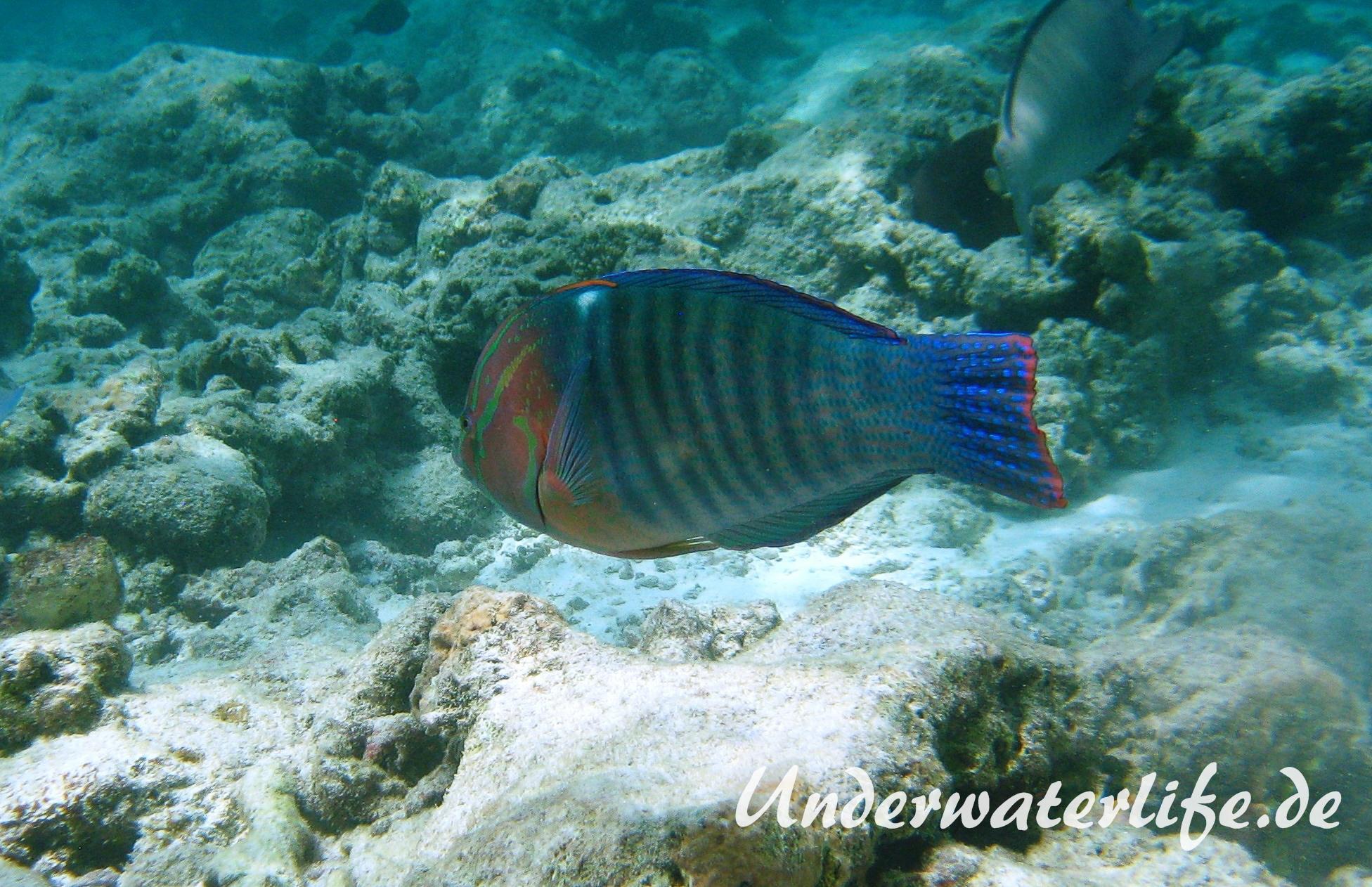 Indischer-Clown-Junker_adult-Maennchen-Malediven-2013-02