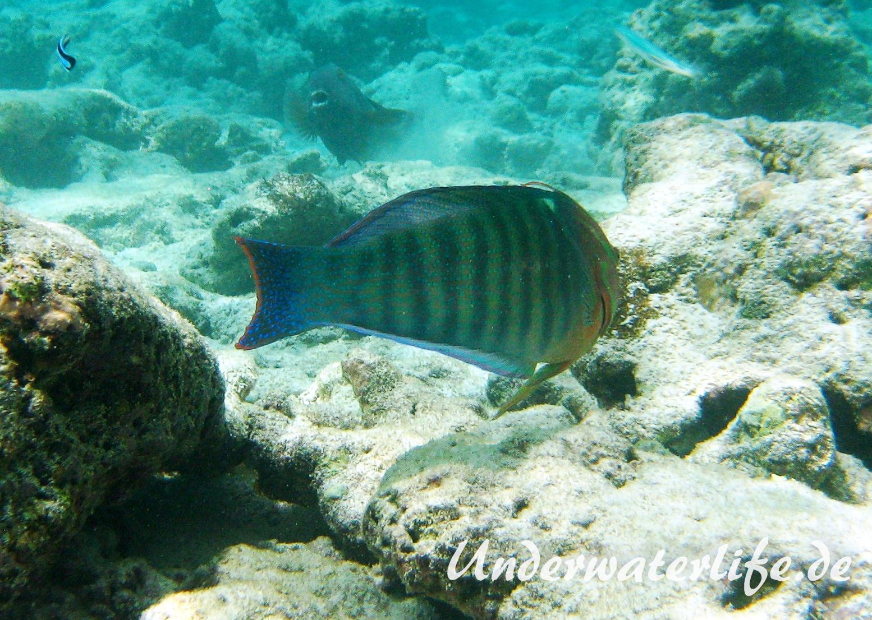 Indischer-Clown-Junker_adult-Maennchen-Malediven-2013-03