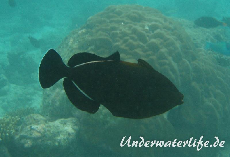 Indischer-Drueckerfisch_adult-Malediven-2013-01