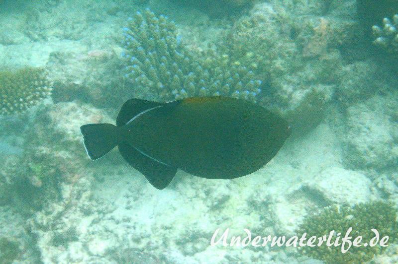 Indischer-Drueckerfisch_adult-Malediven-2013-03