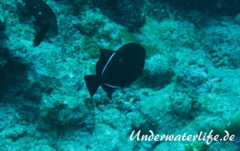 Indischer-Drueckerfisch_adult-Malediven-2013-04