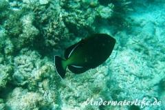 Indischer-Drueckerfisch_adult-Malediven-2013-02