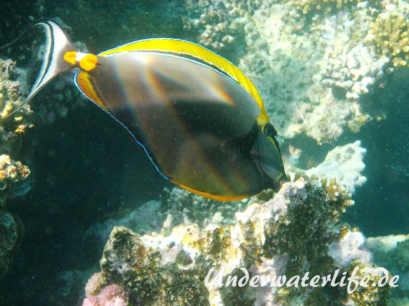 Indischer Gelbklingen-Nasendoktor_adult-Marsa alam-2012-3