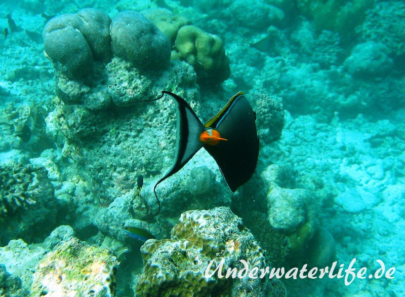 Indischer-Gelbklingen-Nasendoktorfisch_adult-Malediven-2013-02