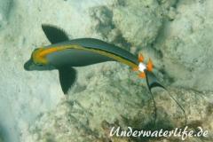 Indischer-Gelbklingen-Nasendoktorfisch_adult-Malediven-2013-03