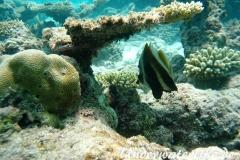 Indischer-Horn-Wimpelfisch_adult-Malediven-2013-01