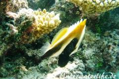 Indischer-Horn-Wimpelfisch_adult-Malediven-2013-02