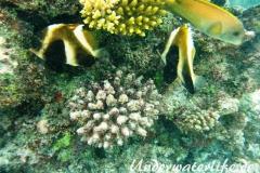 Indischer-Horn-Wimpelfisch_adult-Malediven-2013-03