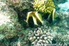 Indischer-Horn-Wimpelfisch_adult-Malediven-2013-04