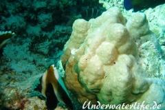 Indischer-Horn-Wimpelfisch_adult-Malediven-2013-05